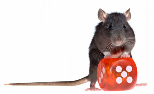 Rats Give Insight Into Gambling Addiction
